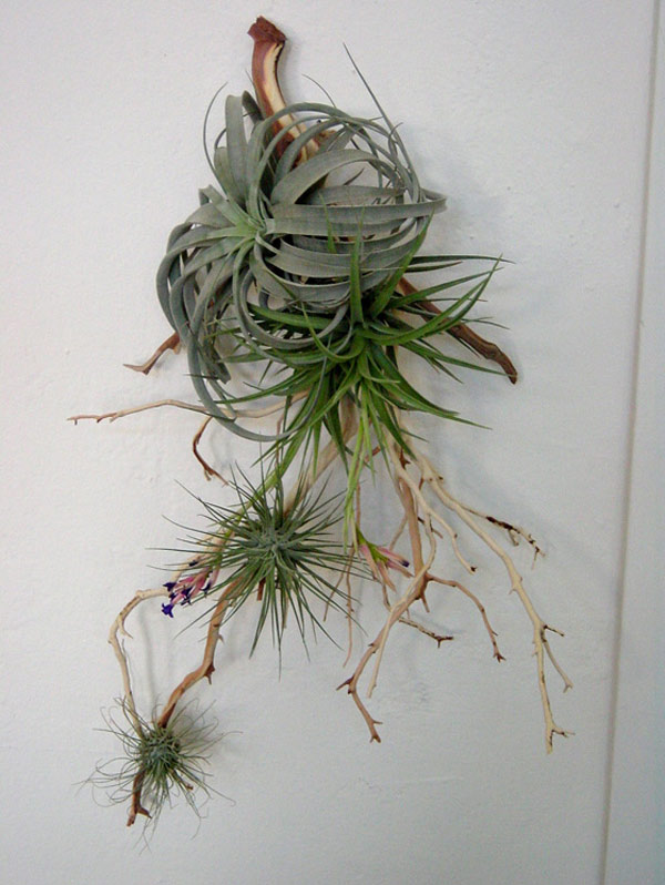 Air plants display for Air plant art